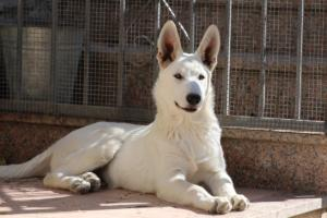 White-Swiss-Shepherd-Puppy-025