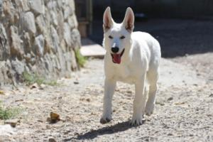 White-Swiss-Shepherd-Puppy-027