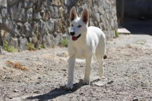 White-Swiss-Shepherd-Puppy-028