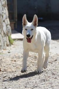 White-Swiss-Shepherd-Puppy-029
