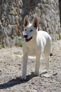 White-Swiss-Shepherd-Puppy-030