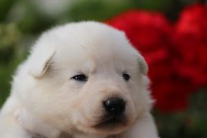 White-Swiss-Shepherd-Puppies-BTWWO-June-2019-0035