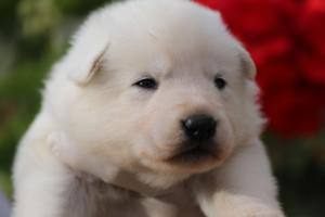 White-Swiss-Shepherd-Puppies-BTWWO-June-2019-0036