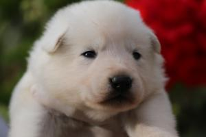 White-Swiss-Shepherd-Puppies-BTWWO-June-2019-0037