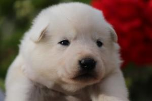 White-Swiss-Shepherd-Puppies-BTWWO-June-2019-0038