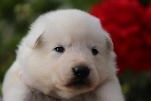 White-Swiss-Shepherd-Puppies-BTWWO-June-2019-0039