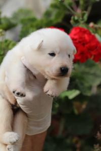 White-Swiss-Shepherd-Puppies-BTWWO-June-2019-0040