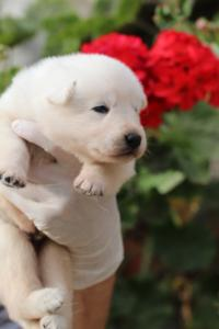 White-Swiss-Shepherd-Puppies-BTWWO-June-2019-0041