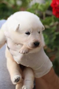 White-Swiss-Shepherd-Puppies-BTWWO-June-2019-0042