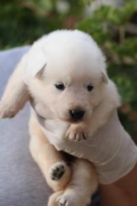 White-Swiss-Shepherd-Puppies-BTWWO-June-2019-0043