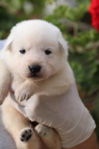 White-Swiss-Shepherd-Puppies-BTWWO-June-2019-0044