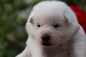White-Swiss-Shepherd-Puppies-BTWWO-June-2019-0048
