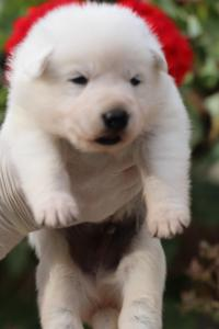 White-Swiss-Shepherd-Puppies-BTWWO-June-2019-0051