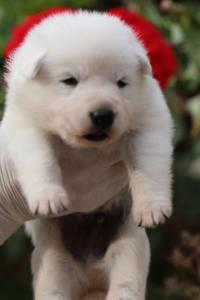 White-Swiss-Shepherd-Puppies-BTWWO-June-2019-0052