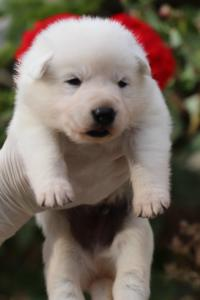 White-Swiss-Shepherd-Puppies-BTWWO-June-2019-0053