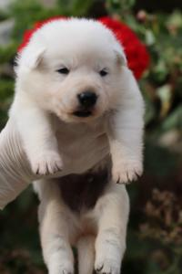 White-Swiss-Shepherd-Puppies-BTWWO-June-2019-0054