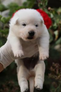 White-Swiss-Shepherd-Puppies-BTWWO-June-2019-0055