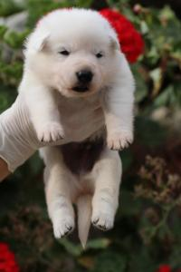 White-Swiss-Shepherd-Puppies-BTWWO-June-2019-0056