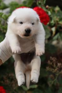 White-Swiss-Shepherd-Puppies-BTWWO-June-2019-0057