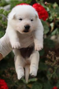 White-Swiss-Shepherd-Puppies-BTWWO-June-2019-0058