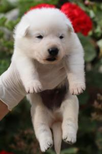 White-Swiss-Shepherd-Puppies-BTWWO-June-2019-0059