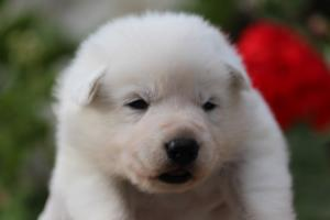 White-Swiss-Shepherd-Puppies-BTWWO-June-2019-0060