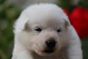 White-Swiss-Shepherd-Puppies-BTWWO-June-2019-0063