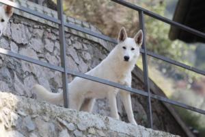 White-Shepherd-Born-to-Win-Warrior-Nostra-Ninja-03201