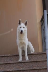 White-Shepherd-Born-to-Win-Warrior-Nostra-Ninja-032010