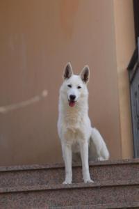 White-Shepherd-Born-to-Win-Warrior-Nostra-Ninja-032011