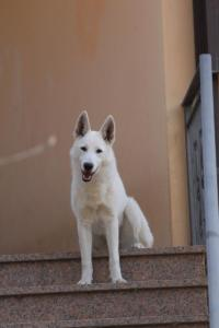 White-Shepherd-Born-to-Win-Warrior-Nostra-Ninja-032012