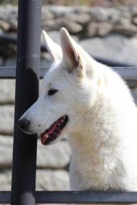 White-Shepherd-Born-to-Win-Warrior-Nostra-Ninja-032013