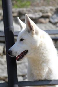 White-Shepherd-Born-to-Win-Warrior-Nostra-Ninja-032014