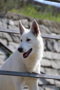 White-Shepherd-Born-to-Win-Warrior-Nostra-Ninja-032015