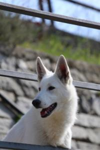 White-Shepherd-Born-to-Win-Warrior-Nostra-Ninja-032016
