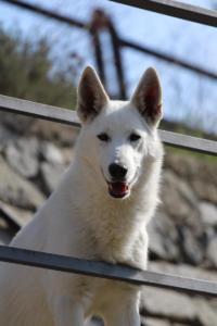 White-Shepherd-Born-to-Win-Warrior-Nostra-Ninja-032017