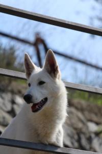 White-Shepherd-Born-to-Win-Warrior-Nostra-Ninja-032018