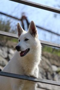 White-Shepherd-Born-to-Win-Warrior-Nostra-Ninja-032019