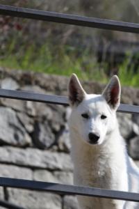 White-Shepherd-Born-to-Win-Warrior-Nostra-Ninja-03202