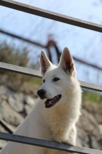 White-Shepherd-Born-to-Win-Warrior-Nostra-Ninja-032020