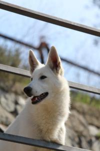 White-Shepherd-Born-to-Win-Warrior-Nostra-Ninja-032021