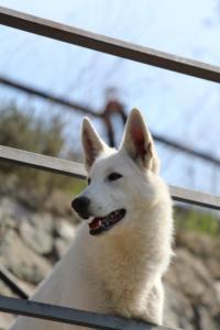 White-Shepherd-Born-to-Win-Warrior-Nostra-Ninja-032022