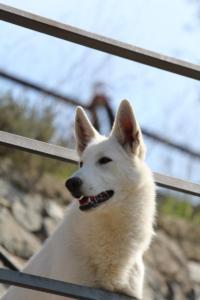 White-Shepherd-Born-to-Win-Warrior-Nostra-Ninja-032023