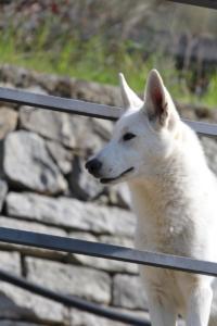 White-Shepherd-Born-to-Win-Warrior-Nostra-Ninja-03203