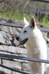 White-Shepherd-Born-to-Win-Warrior-Nostra-Ninja-03204