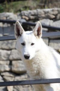 White-Shepherd-Born-to-Win-Warrior-Nostra-Ninja-03205