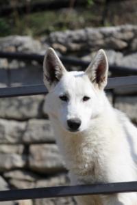 White-Shepherd-Born-to-Win-Warrior-Nostra-Ninja-03206