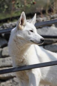White-Shepherd-Born-to-Win-Warrior-Nostra-Ninja-03207