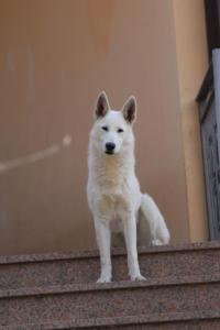 White-Shepherd-Born-to-Win-Warrior-Nostra-Ninja-03208