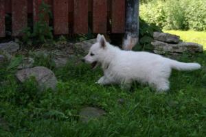 valge lambakoera kutsikad 78